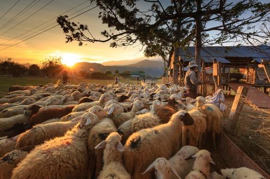 Shepherd Page Asia Sheep Farmer Ninh Thuan Flock